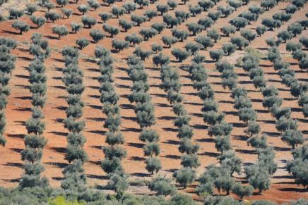 Trasformare un seminativo in oliveto conviene