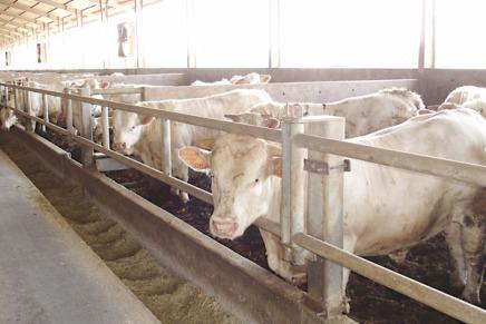 Lo stress da caldo mette a rischio il benessere dei bovini