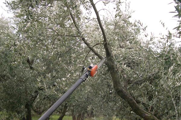 Oliveti compromessi dal freddo: come gestire la potatura terra e vita