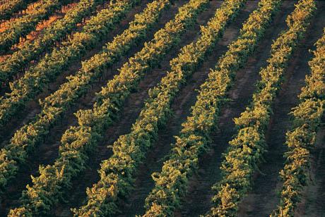 coltivazioneFilariUva.JPG