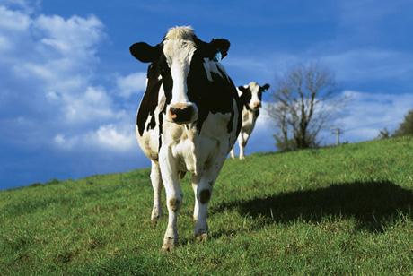 mucche_frontali.jpg