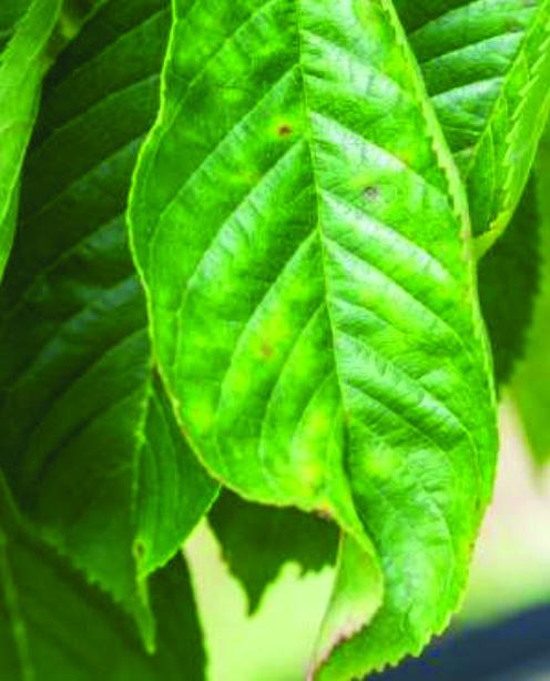 maculatura-rossa