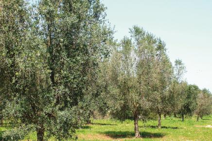 Il caso di un terreno olivetato
