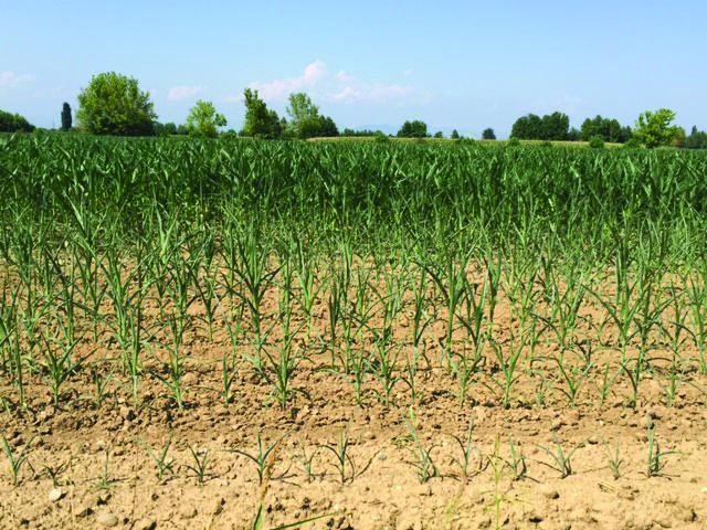 L'azienda coltiva triticale, mais di 1° e 2° raccolto (dopo triticale), sorgo. Tutte le biomasse prodotte sono destinate all'impianto di biogas interaziendale Metagri. La disponibilità di acqua irrigua è molto buona, ma le temperature elevatissime ostacolano e influiscono negativamente sul regolare sviluppo della pianta, anche in presenza di irrigazione.  La 'tenuta' all'irrigazione, con temperature sempre superiori ai 35 °C, non arriva ai normali 7 giorni. In queste condizioni ci vorrebbero interventi irrigui ogni 4-5 giorni. Ovviamente impensabile per costi e disponibilità d'acqua.