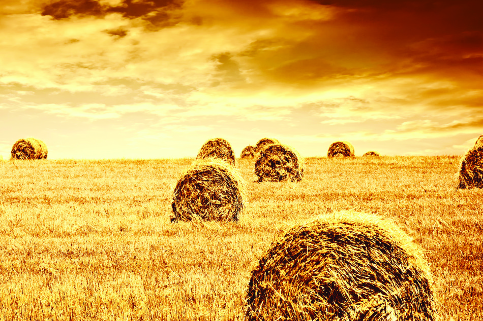 golden rye field with haystack, season of crop, farm producing food, cultivated organic seeds of bread, beauty of nature in autumn