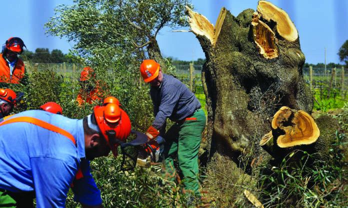 xylella abbattimenti olivi estirpata