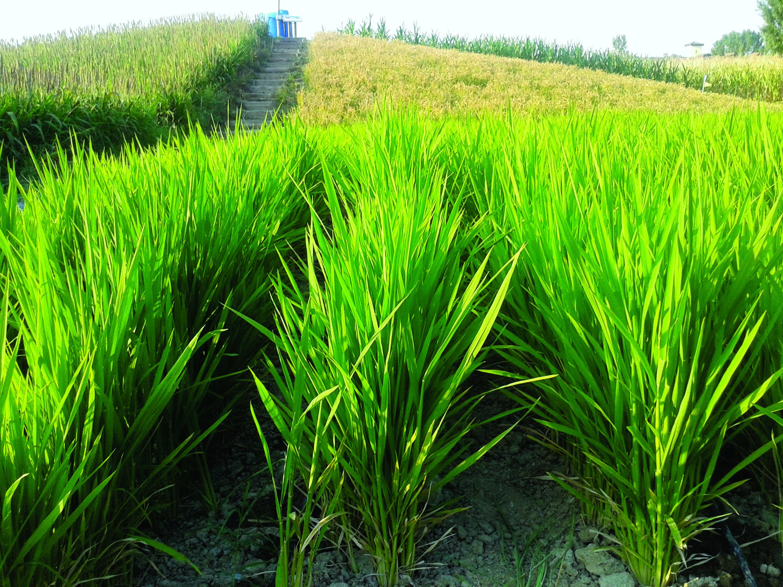 L irrigazione a goccia nella coltivazione del riso for Irrigazione per sommersione