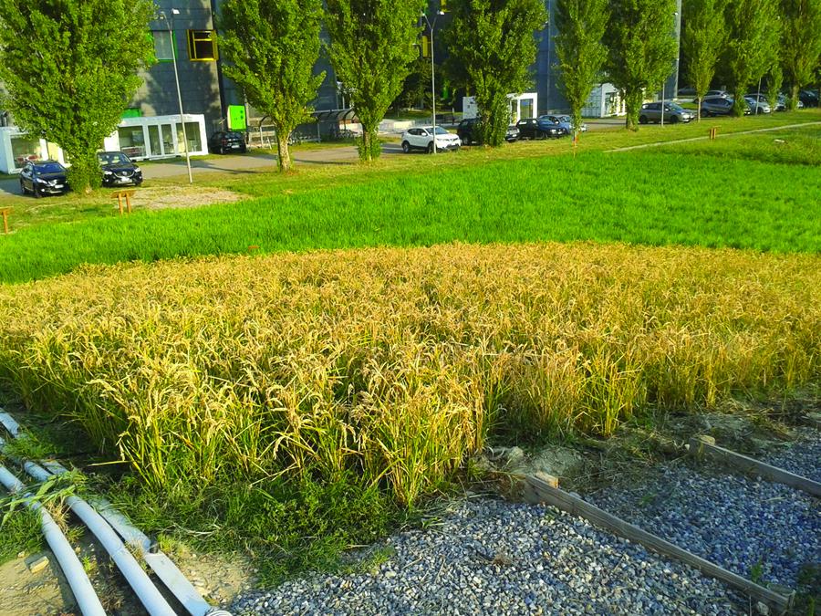 L irrigazione a goccia nella coltivazione del riso for Netafim irrigazione