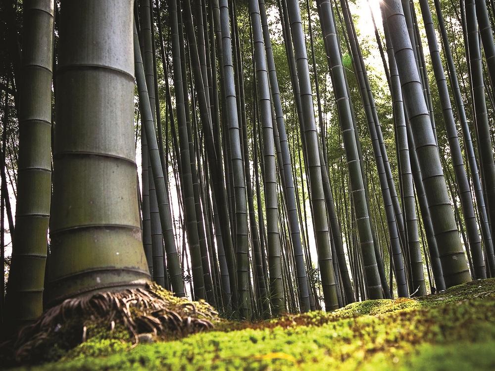 Coltivare Bamb Gigante In Italia.Bambu Sotto Contratto Esotico E Sostenibile