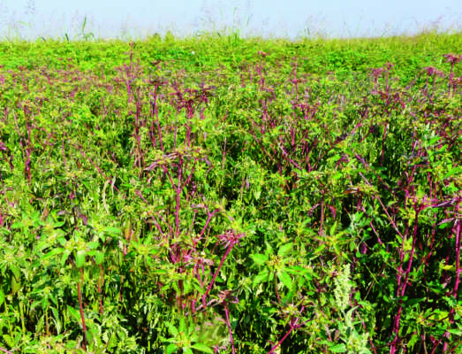 1 - Infestazione di Euphorbia davidii  nel campo di soia di Roverbella (Mn).
