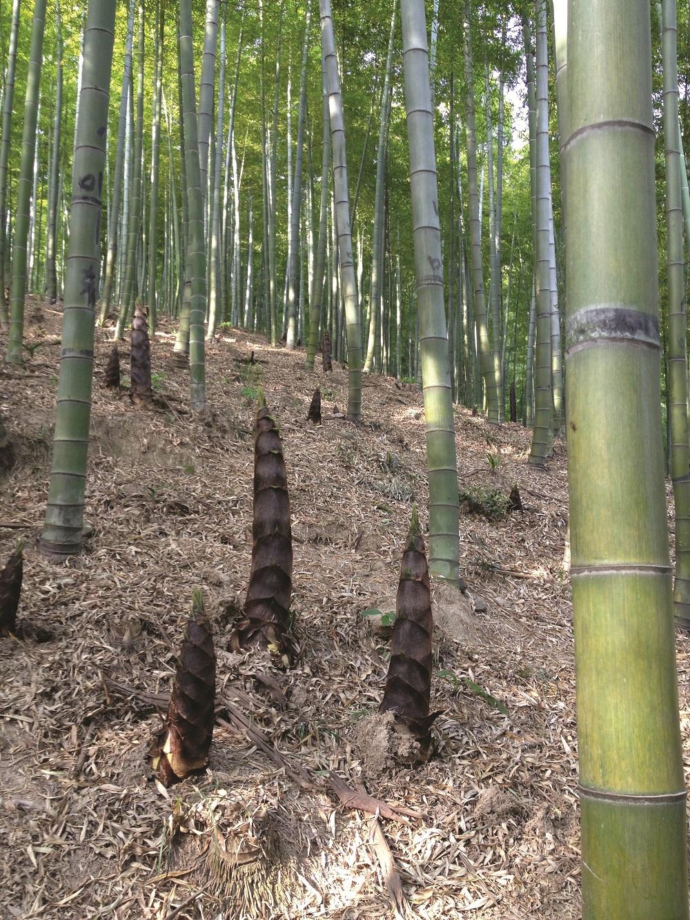 Germogli Bamb Prezzo.Bambu Sotto Contratto Esotico E Sostenibile