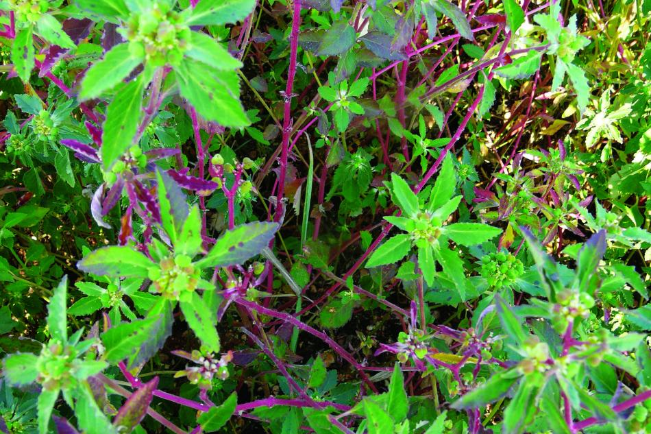 Euphorbia davidii