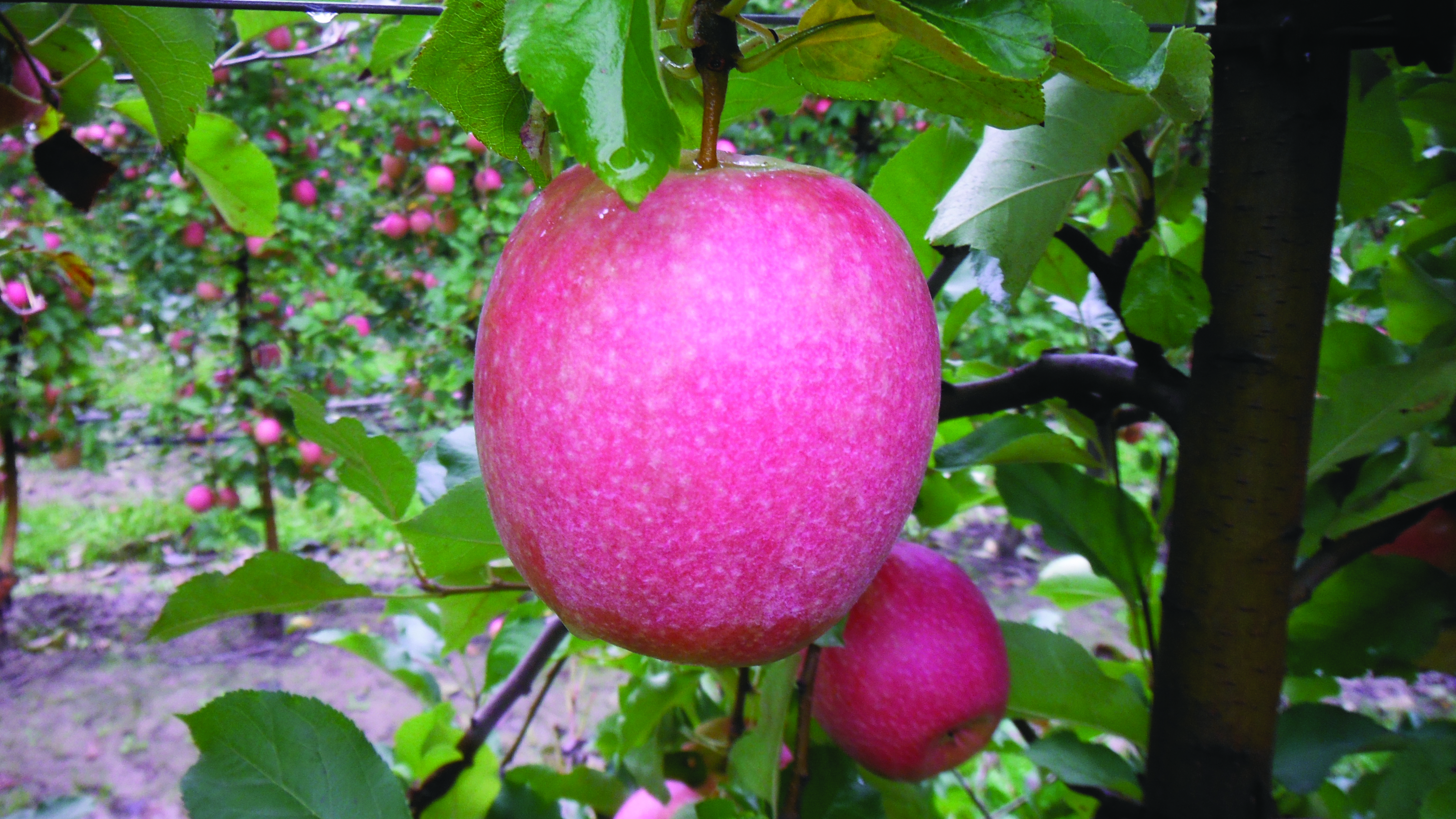 La potatura l arma in pi contro l oidio del melo for Potatura del melo