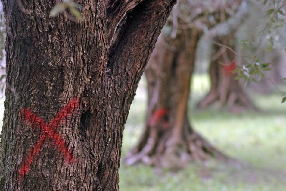 Una croce di colore rosso indica gli ulivi infettati dalla Xylella fastidiosa, il batterio che sta decimando gli ulivi del Salento,