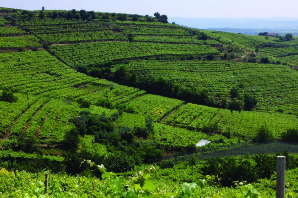 impianti viticoli