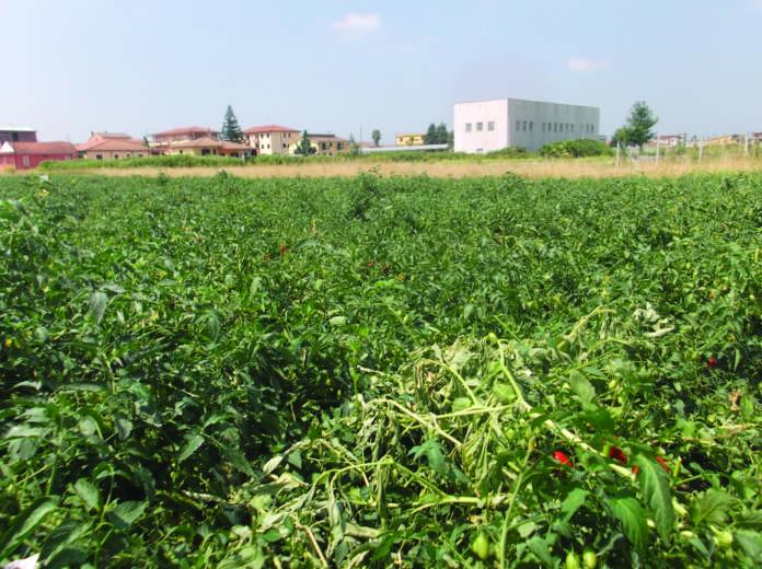 pomodoro industria