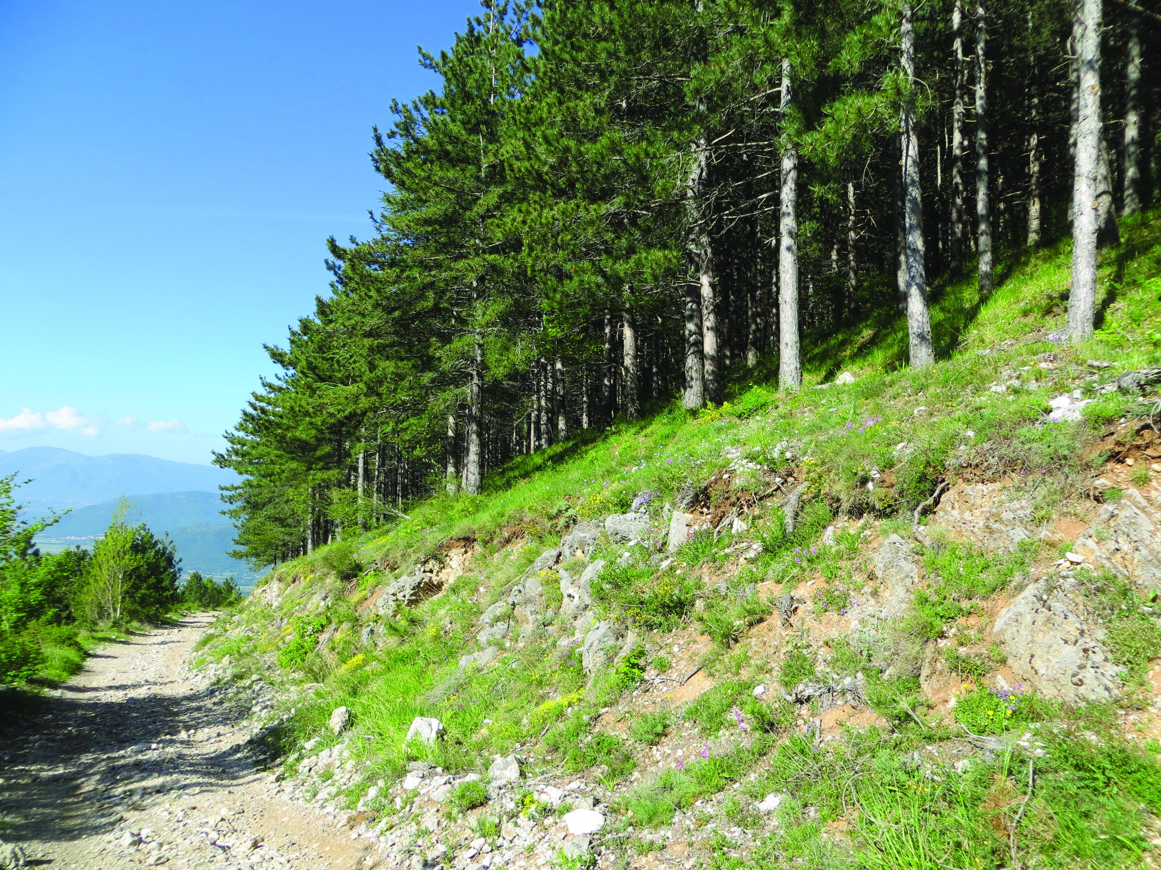 Vivaio Forestale Abruzzo : Pinete artificiali i tempi della rinaturalizzazione