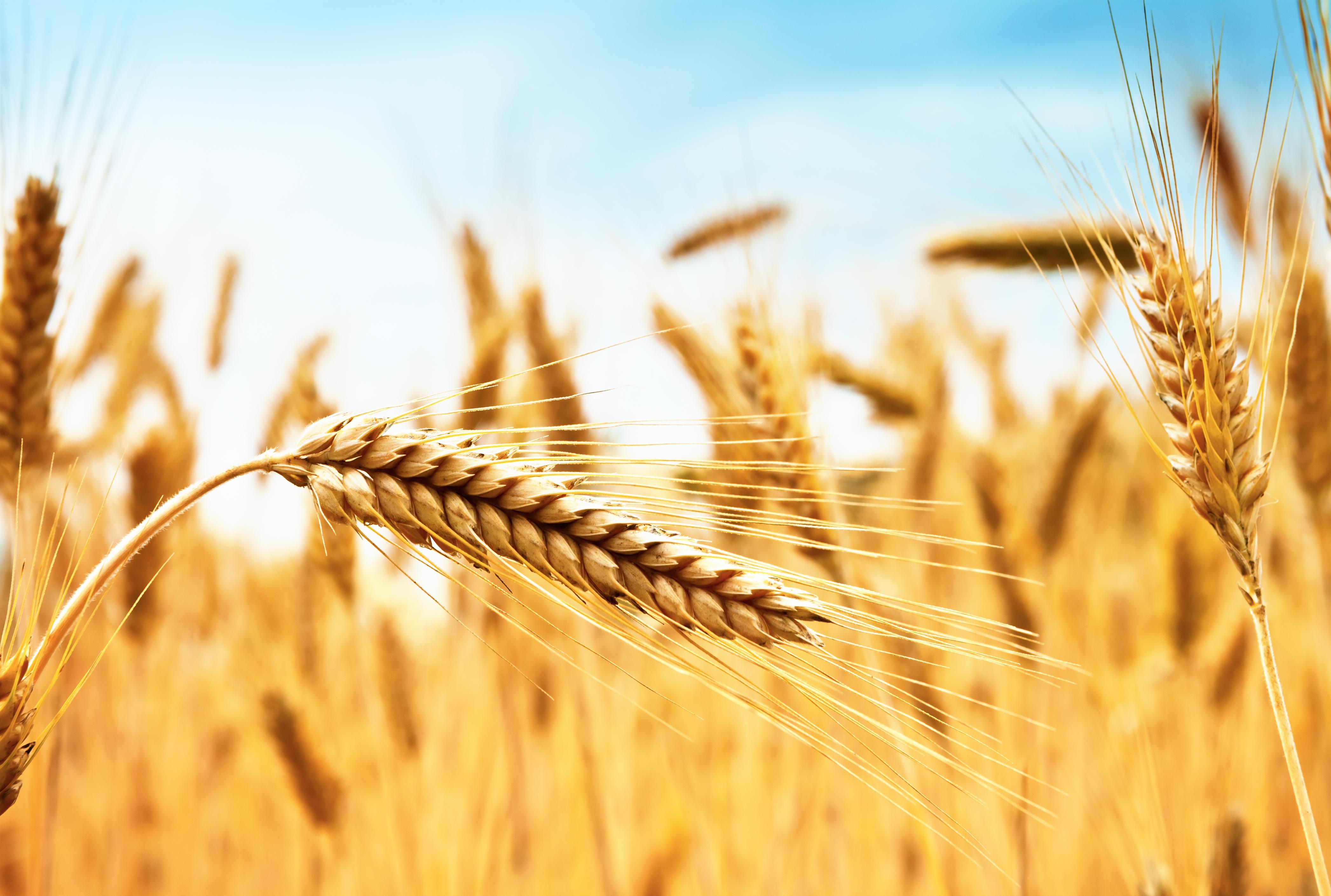 Al via il primo listino dei cereali e delle proteaginose bio