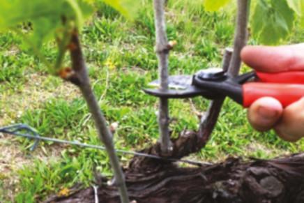 Rifinitura posticipata della potatura invernale della vite