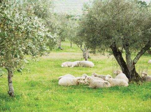 olivicolo