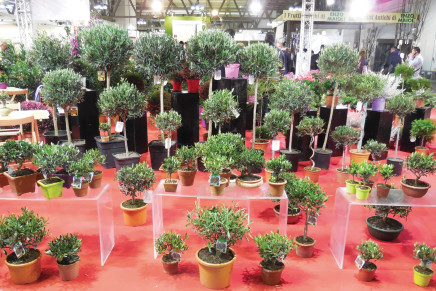 Olivi ornamentali, il mercato tira ancora