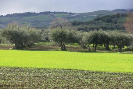 La sfida della meccanizzazione in olivicoltura
