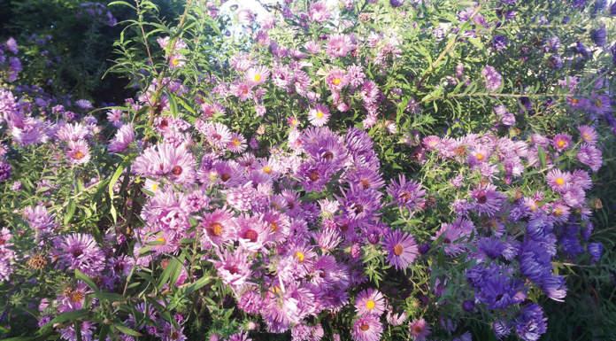 fiori eduli