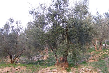 L'olivicoltura è economia, ambiente e paesaggio