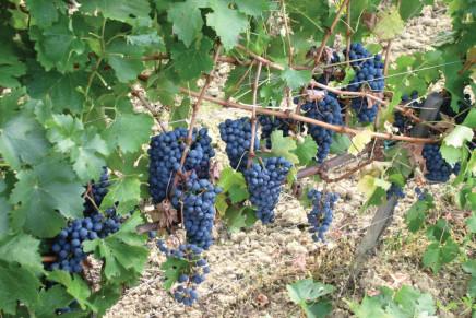 Viticoltura, tutto parte dalle radici