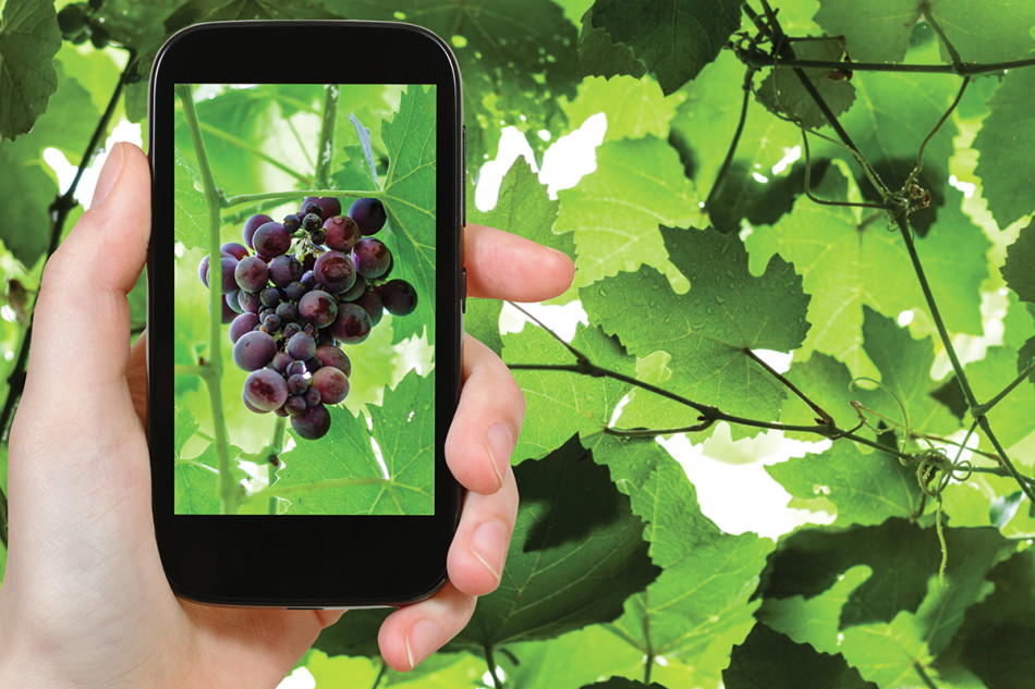 gardening concept - gardener photographs bunch of red grapes on smartphone