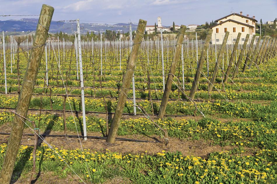 vitivinicole
