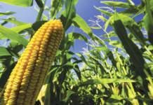 prezzi del mais