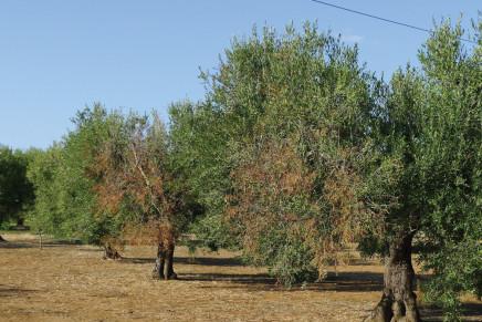 Disseccamento dell'olivo, cause, ospiti e sorveglianza