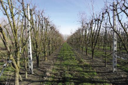 Susino, la forma d'allevamento dipende da vigoria e densità