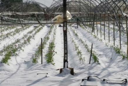 Neve e gelo, Sud in ginocchio