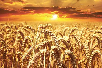Semine 2017: cresce il grano tenero, crolla il duro (-7,3%)