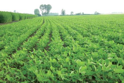 Autoproduzione di seme di soia a livelli preoccupanti