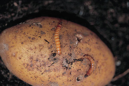 Patata, nuove tecniche anti elateridi