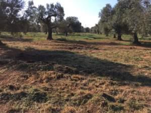 Oliveto trinciato