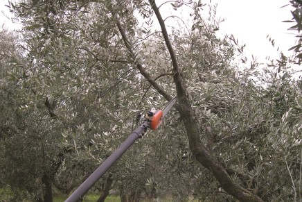 Potature straordinarie per oliveti tradizionali