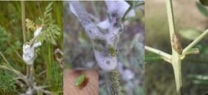 Larve, ninfe (protette dalla tipica schiuma) e adulti di Philaenus spumarius. (fonte Infoxylella)