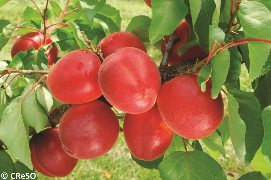albicocche rosse
