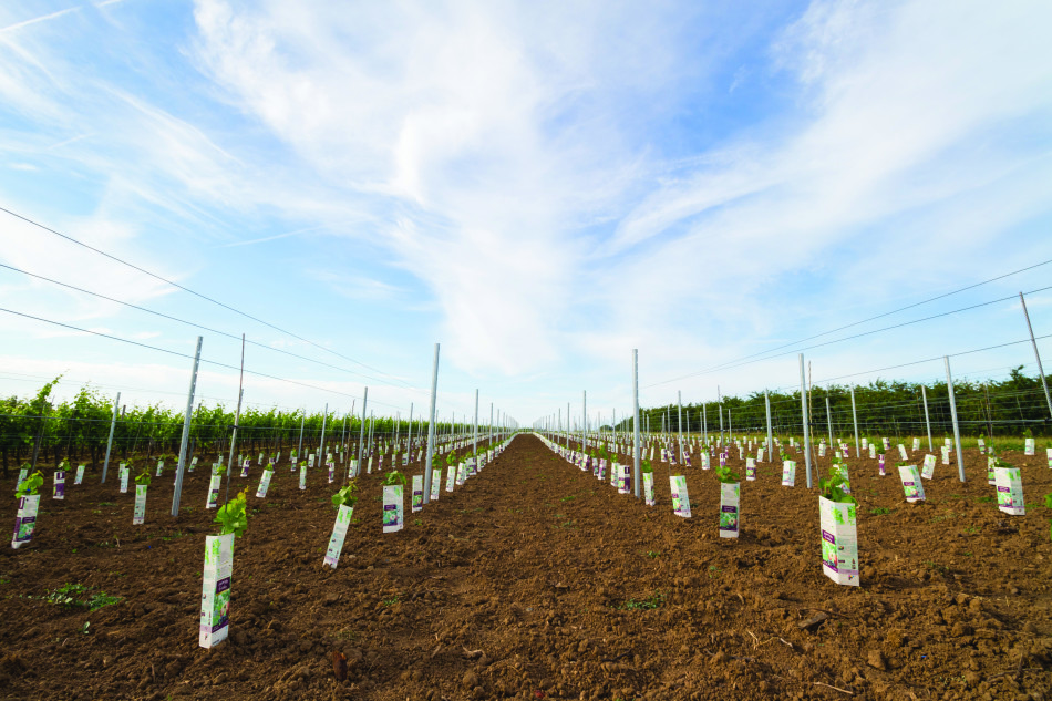 field of new, young vine plants