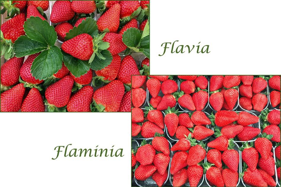 Fragole Flavia e Flaminia