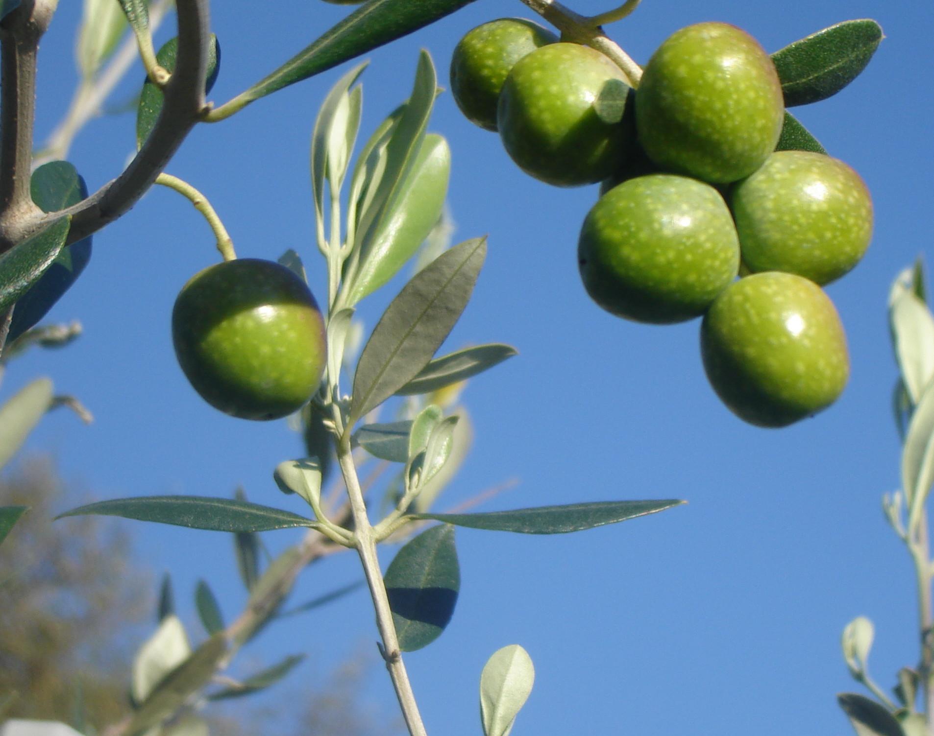 """Frutti di olivo Cultivar FS-17 """"Favolosa"""" resistente a Xylella."""