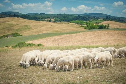 Difficoltà per la produzione di latte in Maremma