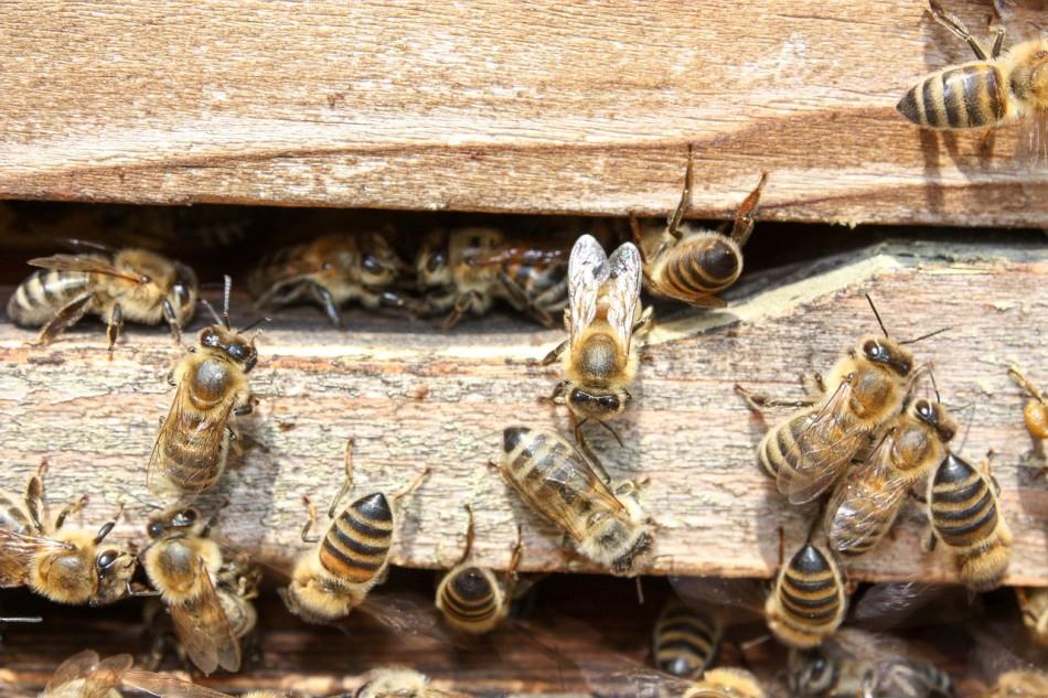 api_alveare