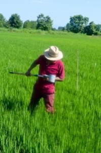 Campionamento del riso dopo la distribuzione del larvicida