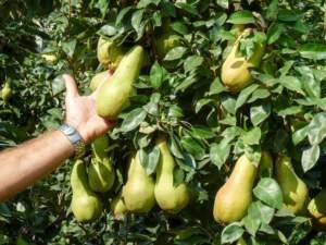 Anche dopo la raccolta si devono curare irrigazione e nutrizione