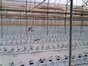 Filare trapiantato su suolo pacciamato all'interno di una serra dell'azienda San Lorenzo Tomato